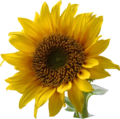 603px-A sunflower-Edited.png